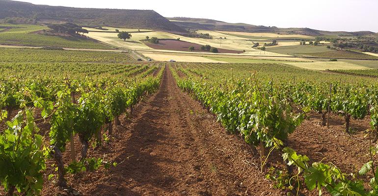 Viñedo de Bodegas Torres en Ribera de Duero