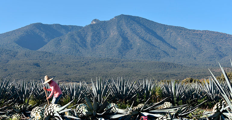agroindustria tequila