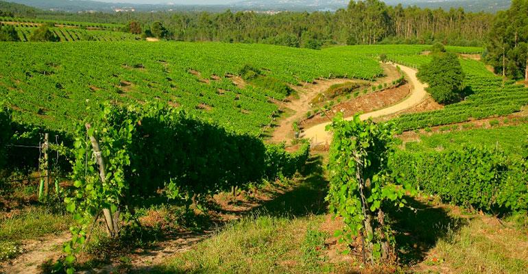 Terras Gauda experimenta con viticultura biodinámica para mejorar la salud de los viñedos